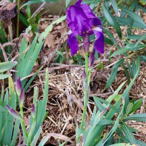 Iris des jardins Ile BLanche