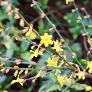 ile blanche jasmin d'hiver