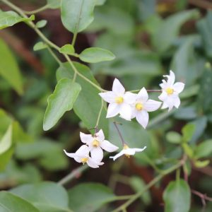 ile blanche solanum jasminoides