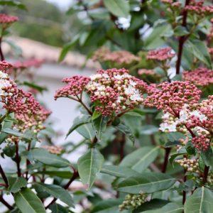Viburnum tinus Ile Blanche